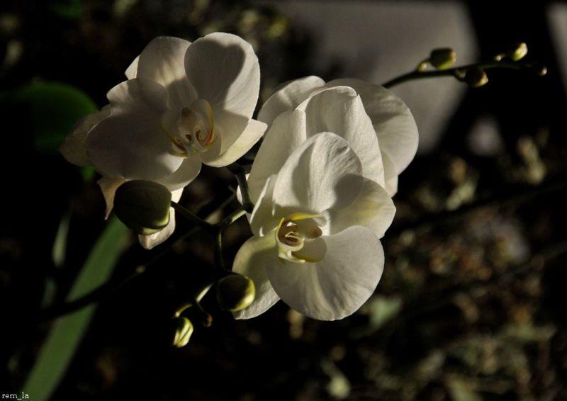 fleur,orchidée,aulnay