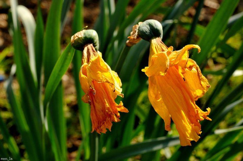 fleur,lys,nature