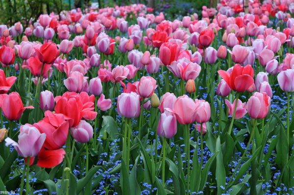 giverny,fleur,printemps,tulippe