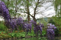 giverny,fleur,printemps,glycine