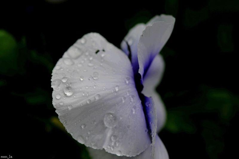 giverny,fleur,printemps,pluie