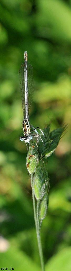 libellule,insecte,herbe