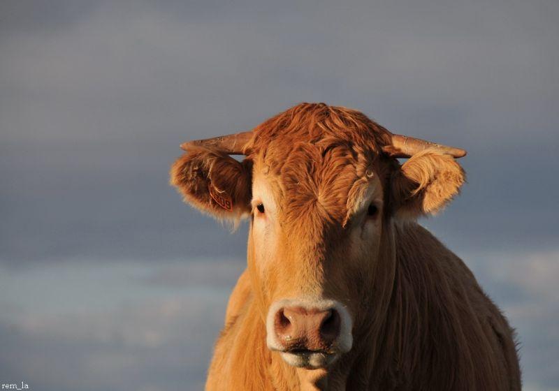 vache,bretagne