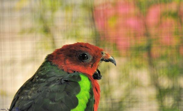 Perroquet,oiseau