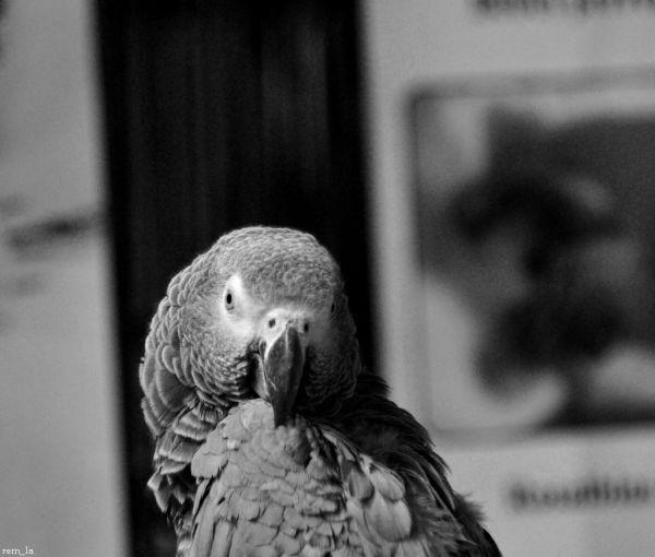 Perroquet,oiseau, n&b