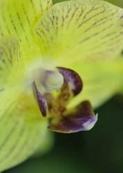 orchidée,fleur