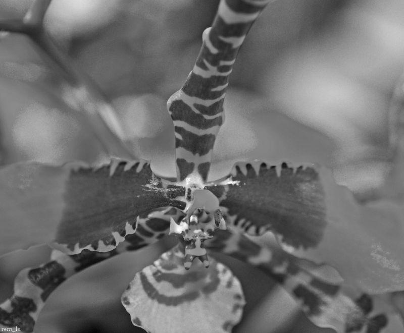 orchidée,fleur,n&b