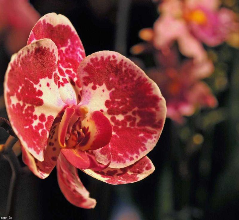orchidée,fleur,pringy