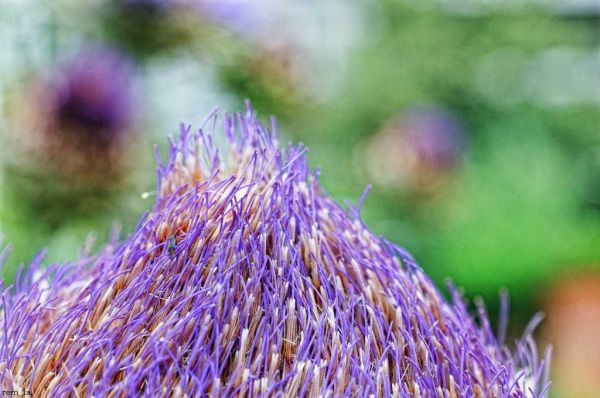 chardon,plante,nature