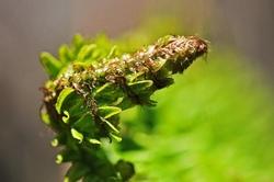 fougere,printemps,plante,macro