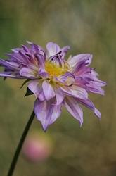 dahlia,parc-floral,vincennes,fleur