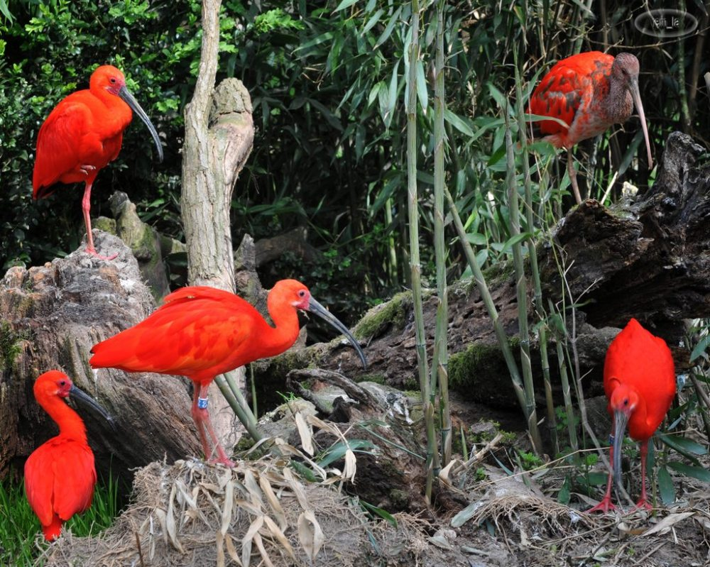 cerza,zoo,animal,oiseau,ibis