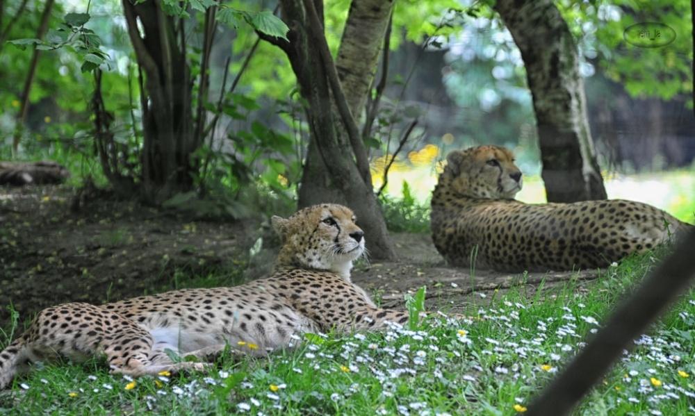 cerza,zoo,animal,fauve
