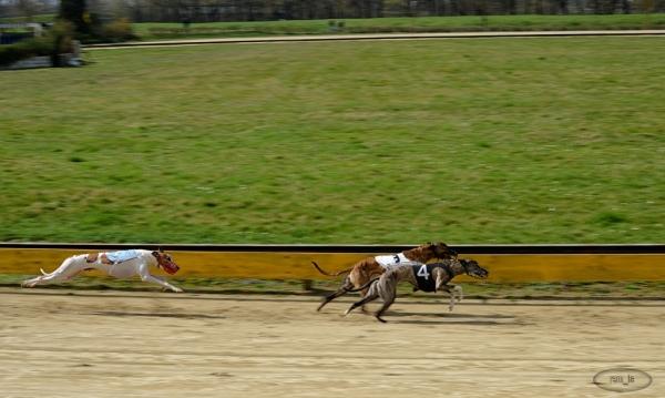 Course de levriers à Soissons