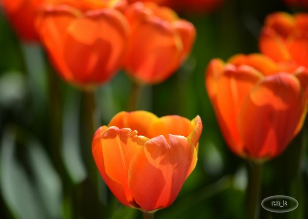 tulipe,fleur,printemps