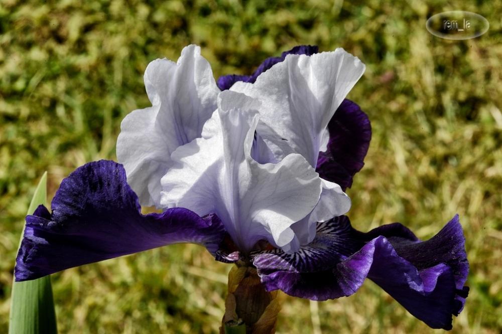 iris,fleur,vincennes,parc