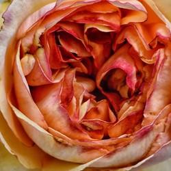 rose,fleur,