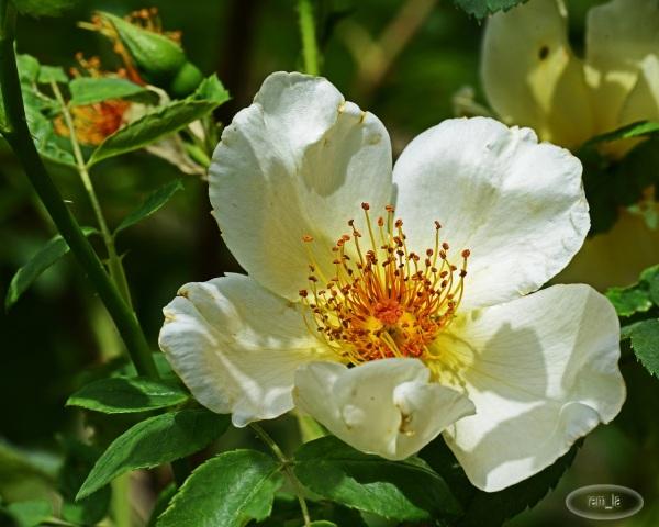 Roseraie de L'Haye les Roses en juillet