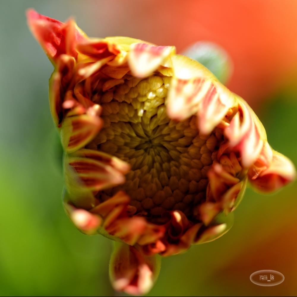 dhalia,fleur,parc,vincennes