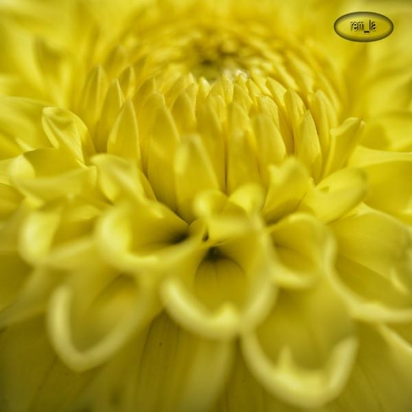 Les dhalias du parc floral de Vincennes