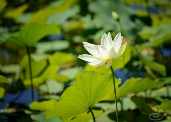 lotus,fleur,parc,vincennes