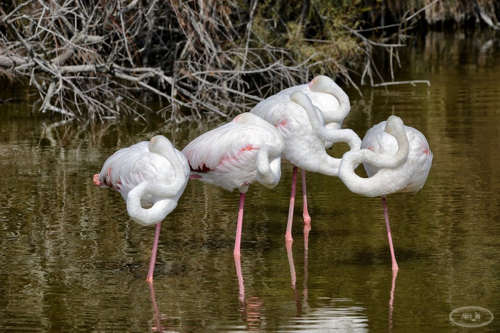 flamand,rose,etang,gau,camargue