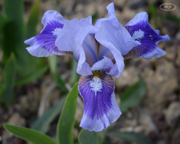 Les iris nains du parc floral de Vincennes