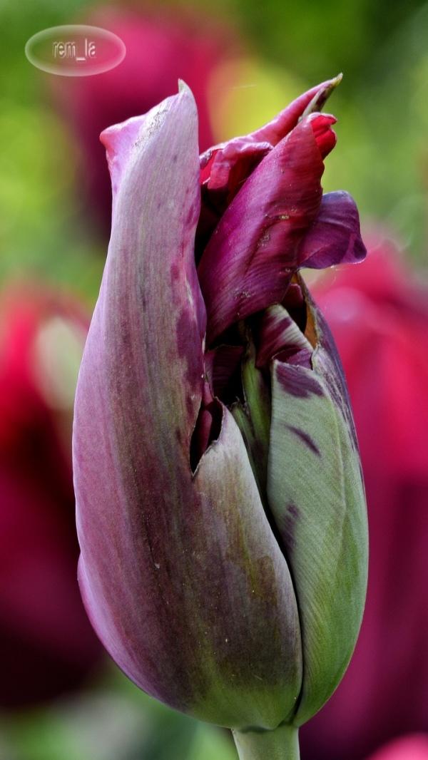 les tulippes du parc floral