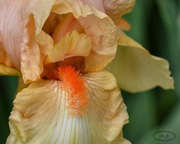 les Iris du parc floral de Vincennes