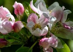 fleurs,pommes,arbre,fruitier