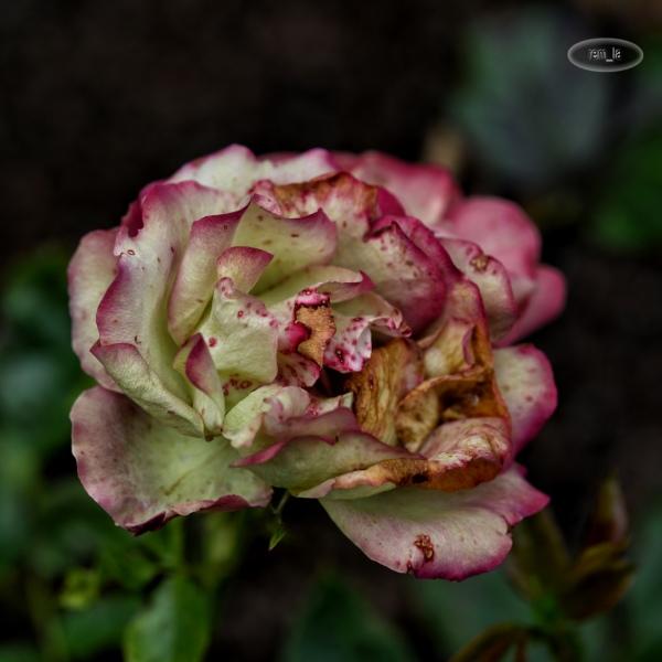 rose,fleur,roseraie