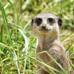 zoo,ozoir,animal,attilly,suricate