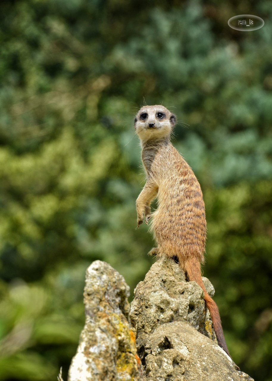 zoo,ozoir,animal,attilly,suricate