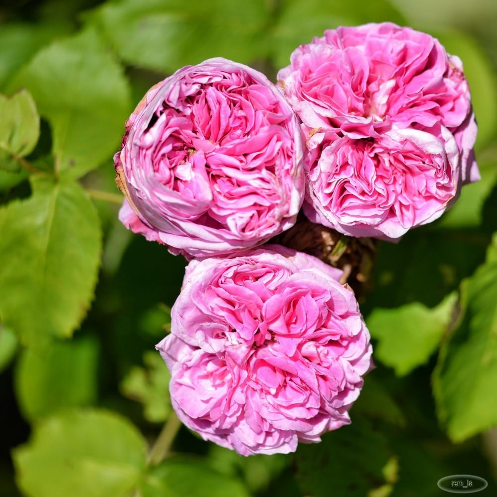 bagatelle,fleur,paris