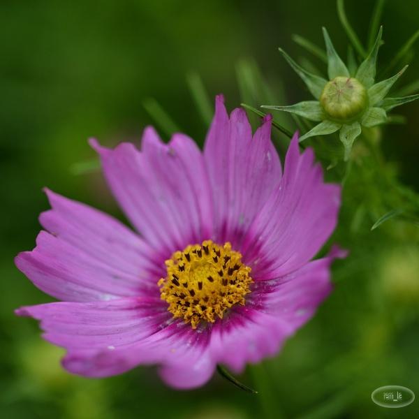 chevreloup,arboretum,fleur