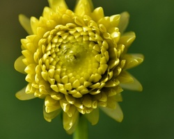 dalhia,vincennes,parc,floral,fleur