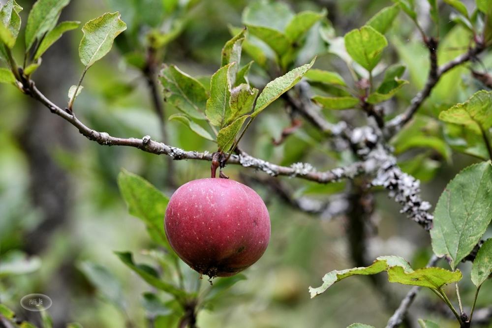 pomme,provins,fruit