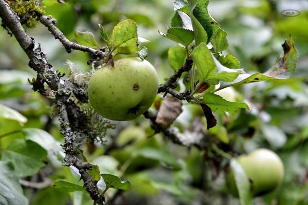 Pommes à la roseraie de Provins