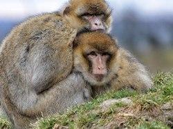 singe,animal,terre