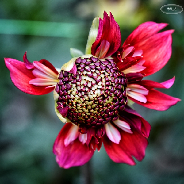 Dahlia au parc floral de Vincennes
