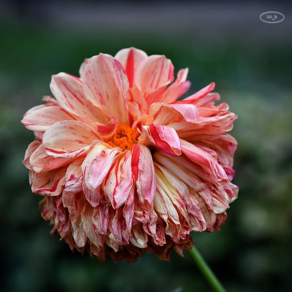 dernier dahlia au parc floral