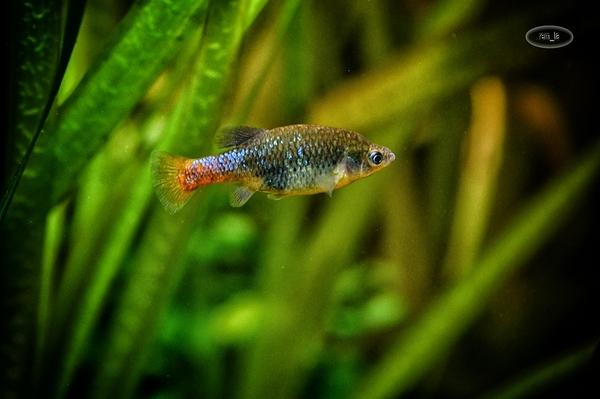 aquarium,dorée,poisson