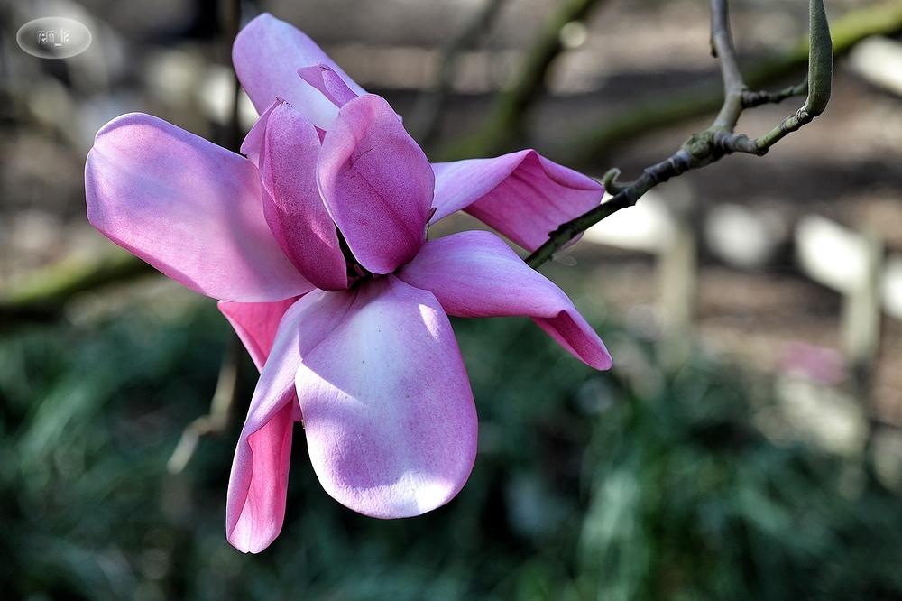 magnola,printemps,fleur,vincennes,parc