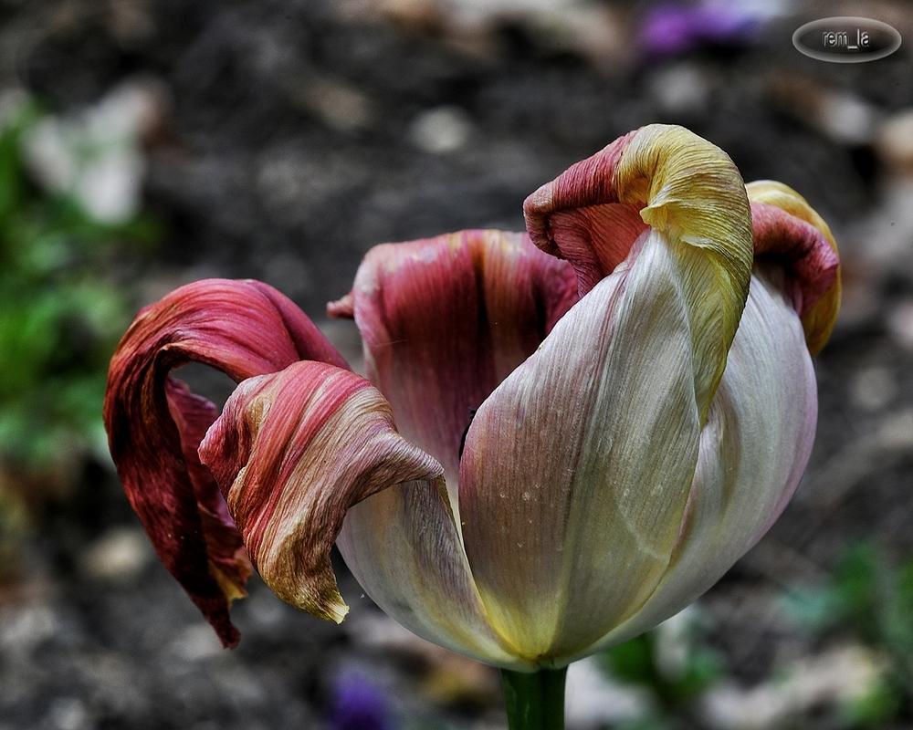 floral,parc,vincennes,fleur,tulipe