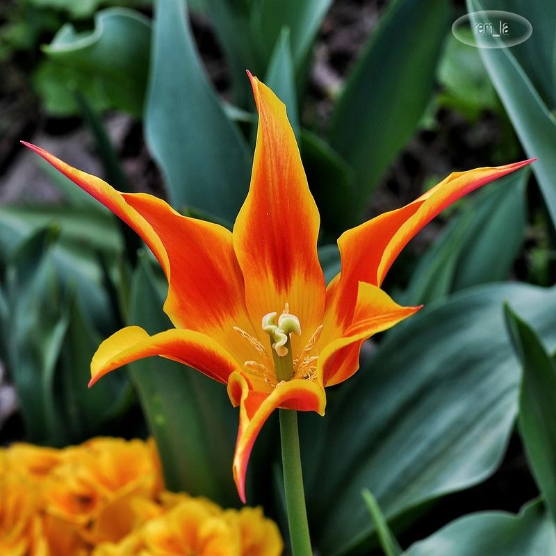 Tulipe au parc floral de Vincennes