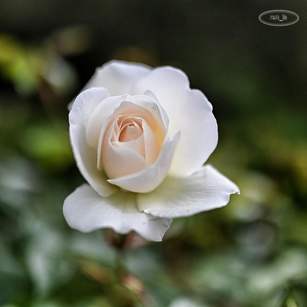 rose à Bercy