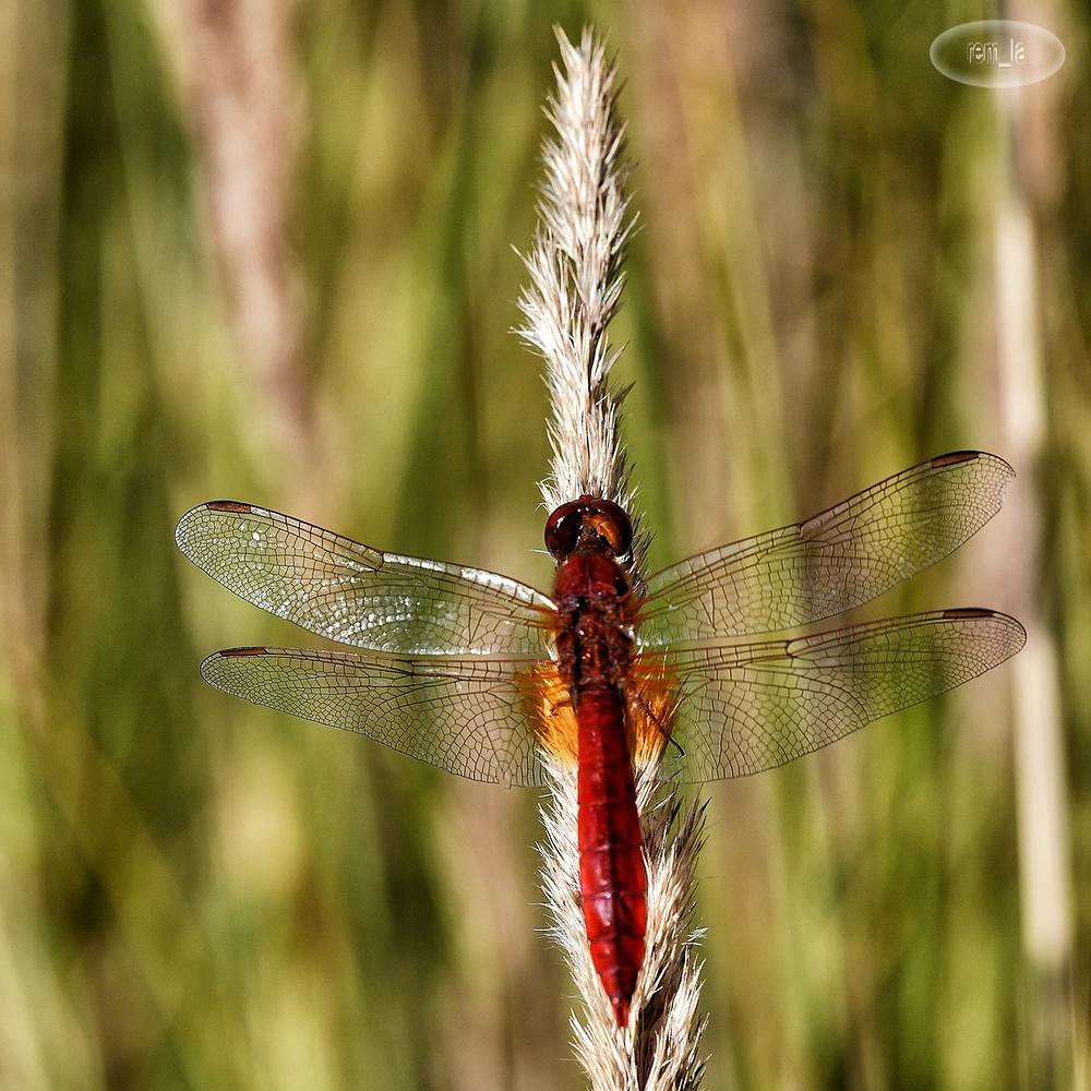 insecte,libellule,grand,voyeux