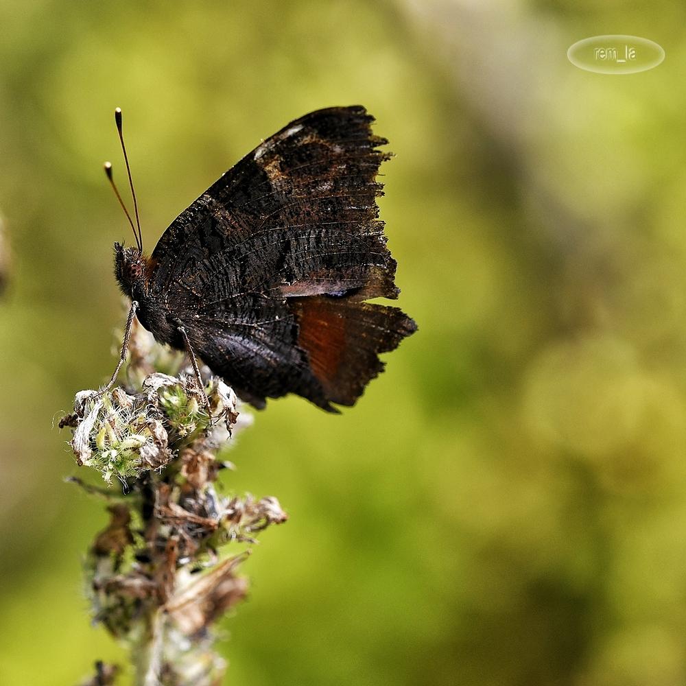 insecte,papillon,grand,voyeux