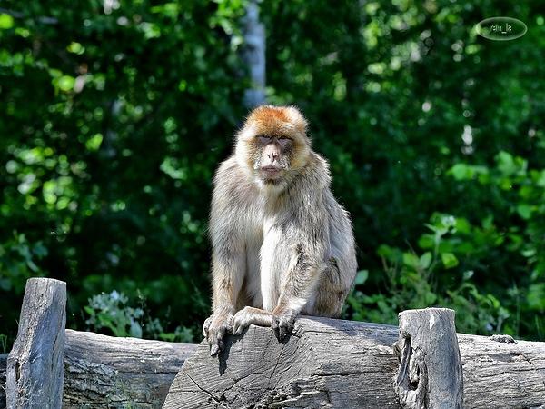 singe,macaque,lumigny