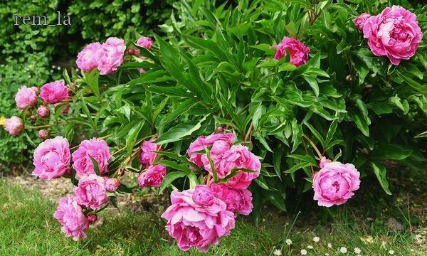 Verdelot,jardin,fleur